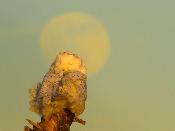 Snoozing Snowy Owl with faint moon behind.  Pinned by www.myowlbarn.com