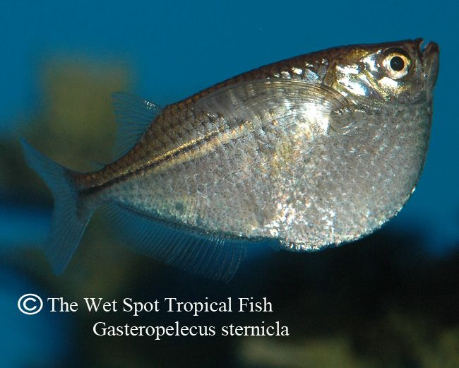 70 best freshwater fish characins images on pinterest for Wet spot fish