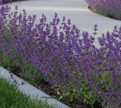 Classy Groundcovers - Nepeta × faasenii 'Walkers Low' (Catmint 'Walkers Low', Nepeta racemosa, N. mussinii , Faassen's Catmint 'Walkers Low') {24 Pots - 3 1/2 in.}