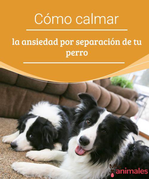 Cómo calmar la ansiedad por separación de tu perro La ansiedad por separación es un problema que muchos perros presentan. Ya sean adultos o cachorros se les puede ayudar a calmarse. #ansiedad #separación #adiestramiento #ayudar