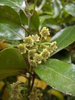 Hedycarya arborea - Poroporokaiwhiri - Pigeonwood
