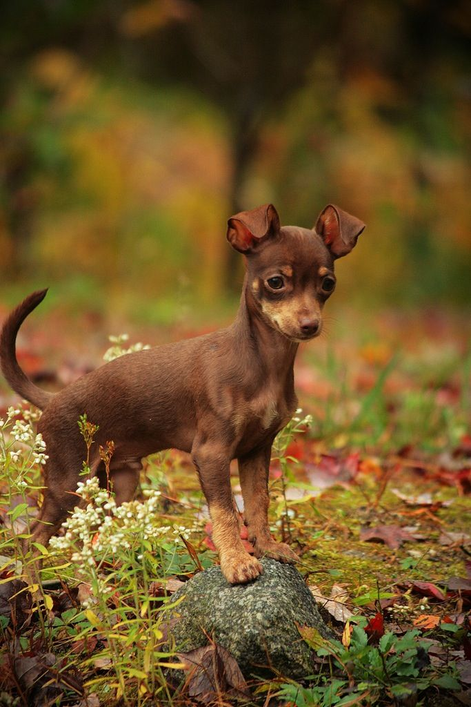 Chihuahua #Dogs #Puppy