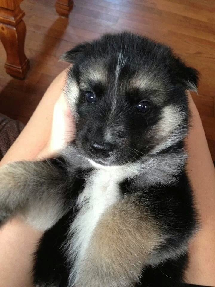 German Shepherd/Husky/Wolf Mix. This is my future dog. Omg.