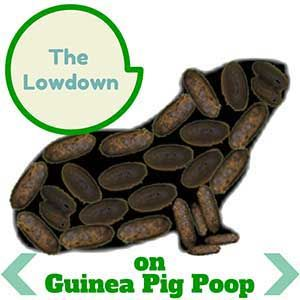Everything you ever wanted to know about guinea pig poop. http://abyssinianguineapigtips.com/guinea-pig-poop/