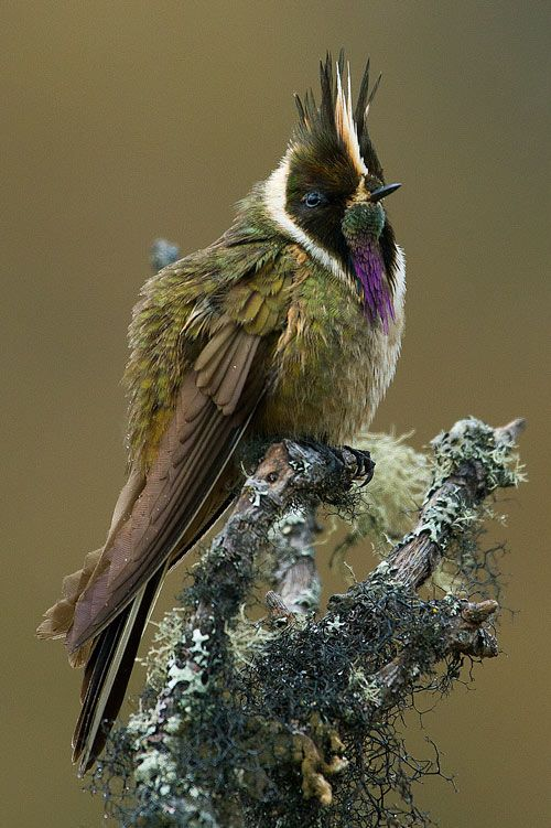 Bearded Helmetcrest (Oxypogon guerinii). Males have a white and black mohawk and a shaggy, purple beard that hangs below their itty-bitty be...