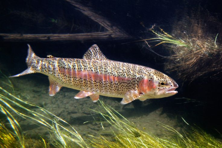 Rainbow Trout - Google Search