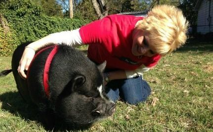 Woman Fights to Keep Sooie the Pot Bellied Pig in His Home--LET THIS LADY KEEP HER PIG!