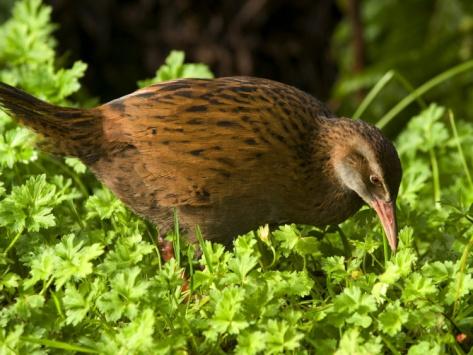 Weka, Gallirallus Australis, a Native New Zealand Flightless Bird Photographic Print by Bill Hatcher at Art.com