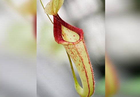 Plantas Carnívoras nephente tem uma tonalidade mais clara e prefere meia-sombra. Também tem formato de vaso e uma tampa para impedir a entrada excessiva da chuva.