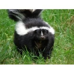 how to get skunk smell out of house and dog