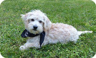 Mocksville, NC - Poodle (Miniature)/Maltese Mix. Meet Prince, a dog for adoption. http://www.adoptapet.com/pet/15331432-mocksville-north-carolina-poodle-miniature-mix