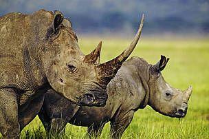 WWF France - Année record pour le braconnage en Afrique du Sud : 1004 rhinocéros tués en 2013 !