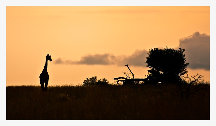 Afrikaans silhouette....