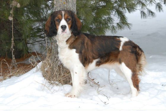 Sable Colored Springer Spaniel Toocutee Pinterest