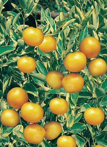 17 best images about abc 39 s of rutaceae citrus on for Plante kumquat