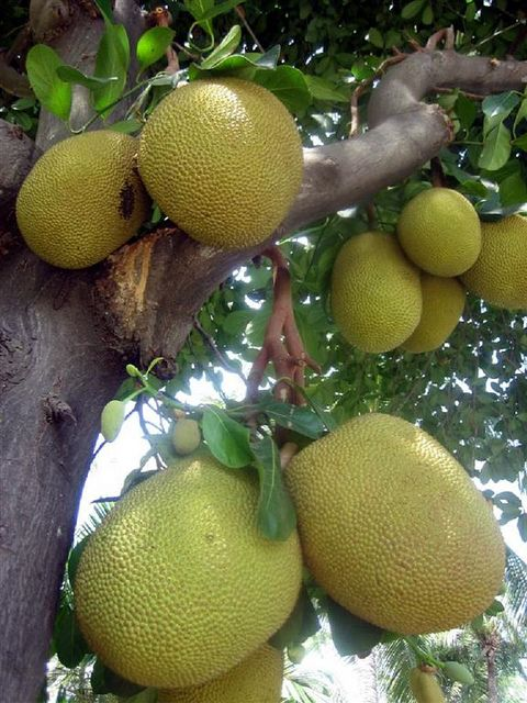Jackfruit (Artocarpus heterophyllus) or Nangka is native to parts of South India and South East Asia. The jackfruit tree is well suited to tropical lowlands and its fruit is the largest tree-borne fruit.  A Jamaican Favourite
