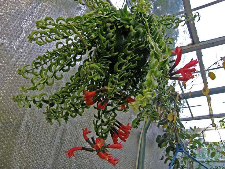 Aeschynanthus twister Lipstick plant