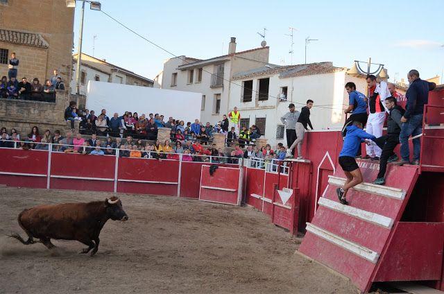 Santacara: Vacas de Vicente Domínguez Fiestas de la Juventud