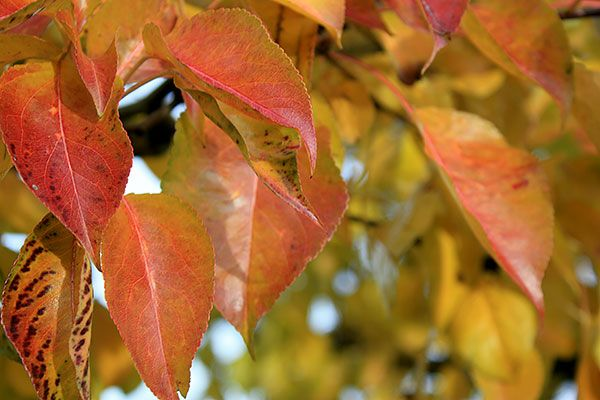 Pyrus call. 'Chanticleer' is both densely branched in maturity and holds its dramatic autumn foliage late into autumn.