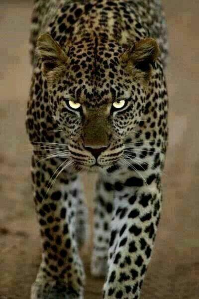 Альфа-самец гепарда