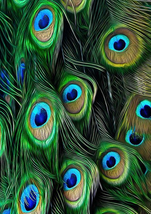 Peacock  aqua teal turquoise
