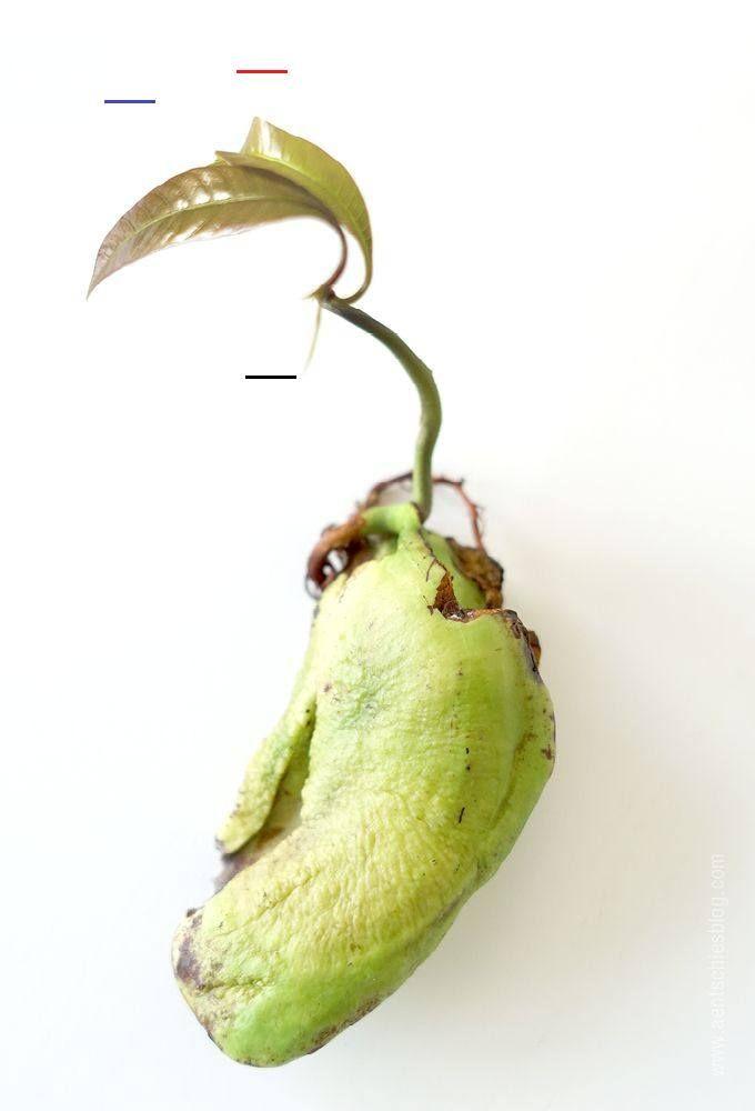 Wie Schäle Ich Eine Mango