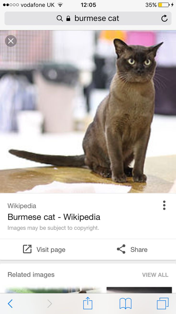 Burmese cat price uk