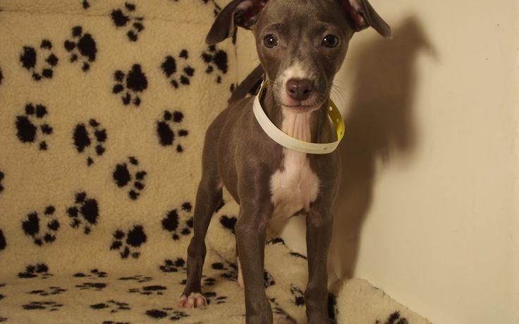 Italian Greyhound #3698 Puppy for Sale