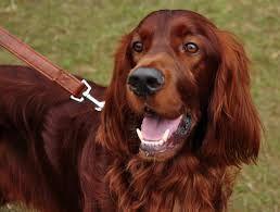 Image result for irish setter dog