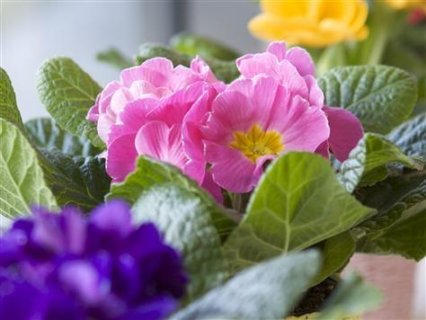 Jordviva, Primula vulgaris, är en fantastiskt söt vårblommande krukväxt som glädjer oss i våra hem och ger oss vårkänsla fastän snön utomhus fortfarande ligger kvar på sina ställen.