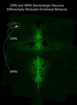 Yin and yang of serotonin neurons in mood regulation: More nuanced view of brainstem neurons could lead to better drugs for depression, anxiety -- ScienceDaily