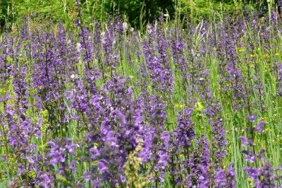 Salvia plant types growing information and care of salvia for Garden plant information