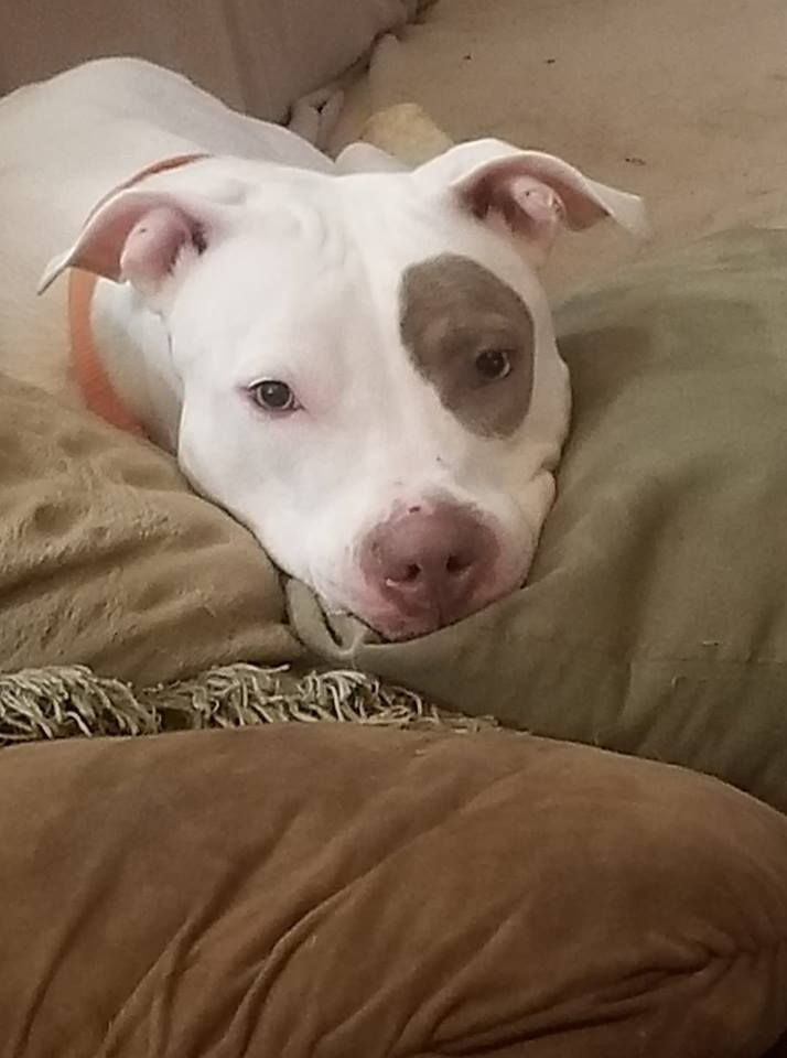 Adopt Maddie Pending On Dog Toys Your Dog Pitbull Terrier