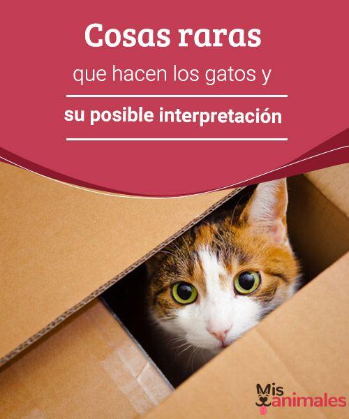 Cosas raras que hacen los gatos y su posible interpretación  Se esconden en cajas, amasan, ronronean...¿qué otras cosas hacen comúnmente los gatos y aún no terminamos de comprender? En este artículo algunas pistas. #gatos #comportamiento #curiosidades #interpretación