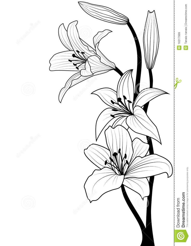 Drawing Line Quality : Lily download from over million high quality stock