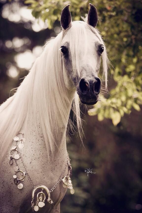 Arabian horse all dressed up
