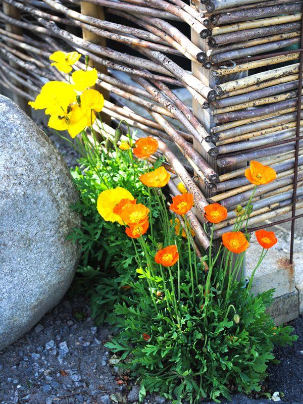 Sibirisk vallmo blommar fint vid pilstaketet.