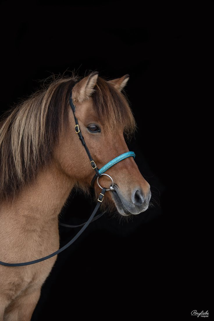 Islandpferd vor schwarzem Hintergrund. Pferdefotografie by Ponyliebe. Equine Photography. Horse Photography.   Isländer. Islandpferd. Icelandic. #equ…