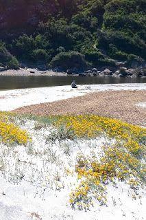 Fioriture primaverili  nella spiaggia di L'Ostriconi