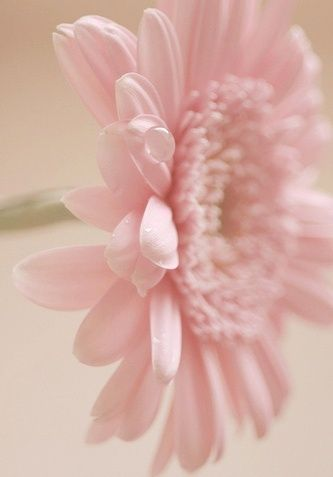 Gerbera Daisy. They can be purchased as house plants and are good air purifiers ~ FLOWERS IN PINK!