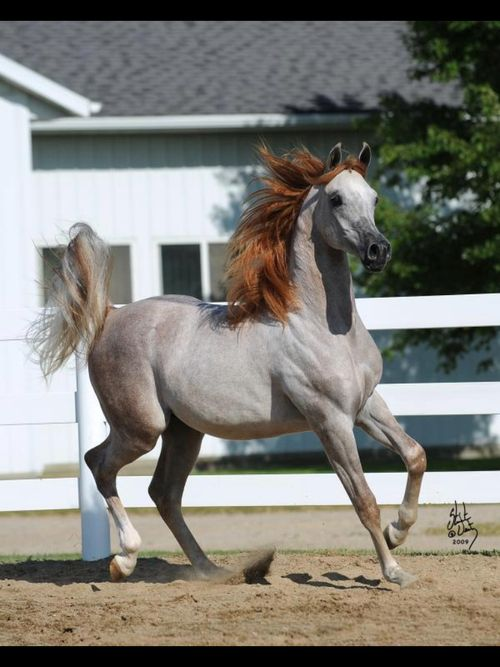 finally I found a great picture of a Rose-gray horse