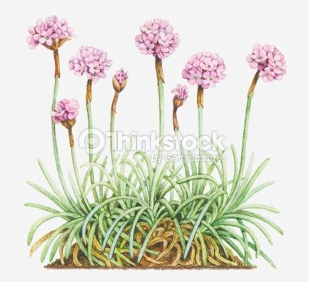 12 best botnica images on pinterest botanical drawings etchings stock illustration illustration of armeria maritima thrift sea pink leaves and mightylinksfo