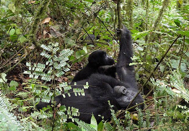 mmountain gorillas