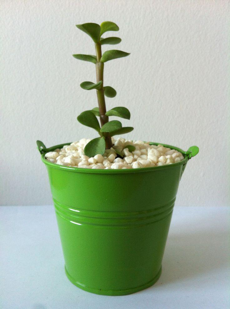 Succulente vert www.plantites.com