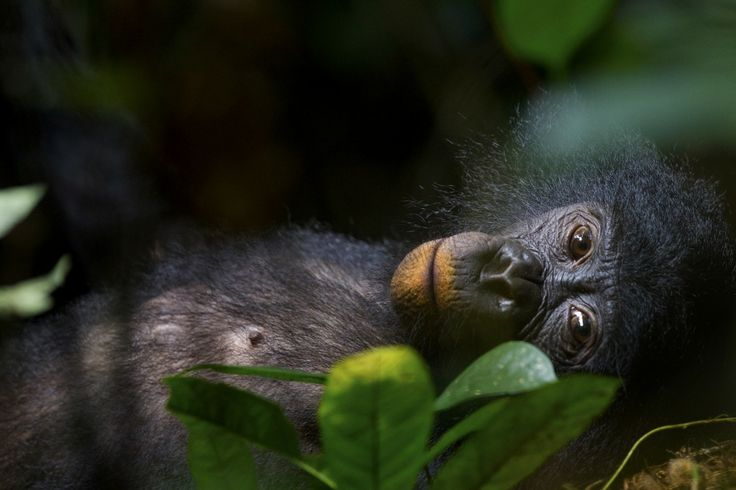 01 June 2011 A young female in Salonga National Park in the Democratic Republic of Congo during a siesta after a big meal. Its lips are orange from clay it ate to compensate for toxins in unripe fruit.