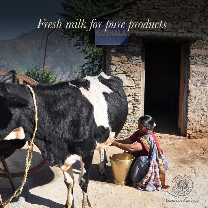 #BehindTheScenes at Forest Essentials!The 'Goshala' at our Lodsi workshop is where we source fresh milk for our milk soap, and other milk-based products!