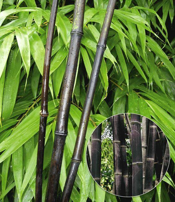 Die besten 25+ Pseudosasa japonica Ideen auf Pinterest - moderne garten mit bambus
