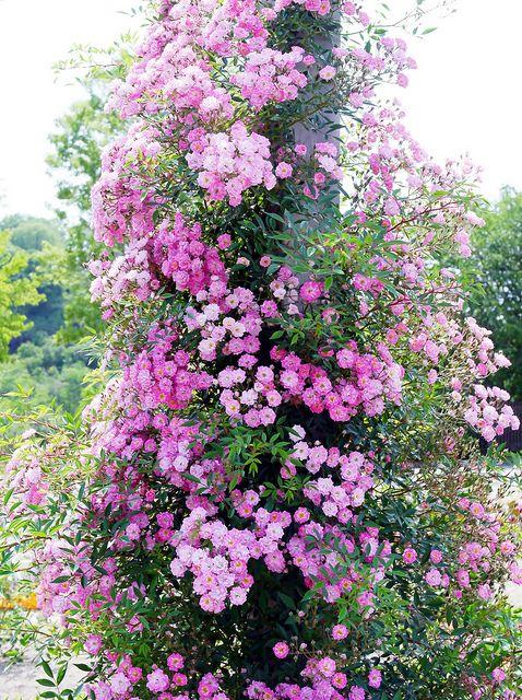 Pillar rose 'Hikomachi'