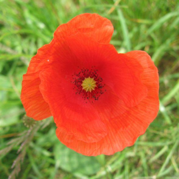 Papavero rosolaccio, papaver rhoeas, rosa dei campi - flora spontanea