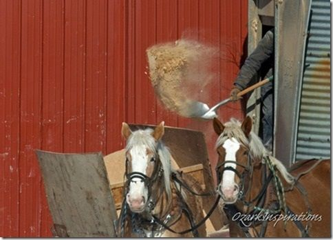 Amish farmer shovels sawdust/pine shavings into a wagon to be used for livestock bedding.
